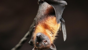 الخفاش قد يكون بريئا من تهمة التسبب في كورونا المستجد