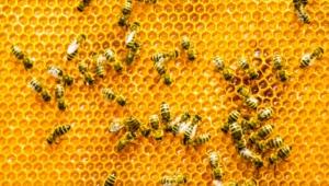 سم النحل يدمر أغشية الخلايا السرطانية خلال 60 دقيقة