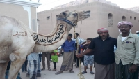 تريم تزين الجمال استعداداً للزيارة السنوية لشعب النبي هود (صور)