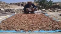 أسراب من الجراد تجتاح مناطق بالضالع وتلتهم المحاصيل الزراعية (فيديو)