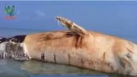 ألغام الحوثي تتسبب بنفوق حوت عملاق في الساحل الغربي (فيديو)