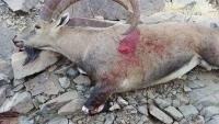 محافظ شبوة يوجّه بحظر ظاهرة اصطياد الحيوانات البرية في المحافظة