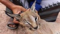 توجيهات بمنع صيد الحيوانات النادرة في شبوة