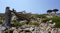 شجرة دم الأخوين.. أزمة بيئية تهدد التنوع البيولوجي في أرخبيل سقطرى