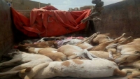 قتل الكلاب بمأرب وسيلة تخفي تقصير السلطات في توفير لقاح داء الكلب (تقرير)